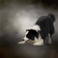 Ready To Play Border Collie Fine Art Print