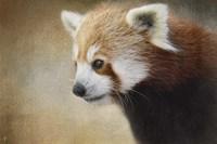 Red Panda Watching Fine Art Print