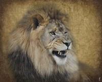Snarling Male Lion Portrait Framed Print