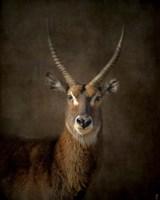 Waterbuck Antelope Fine Art Print