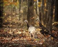 Wild Turkey In The Woods Fine Art Print