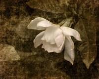 Cape Jasmine Gardenia 2 Fine Art Print