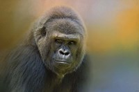 Portrait Of A Gorilla Fine Art Print