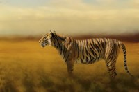 Tiger In The Golden Field Fine Art Print