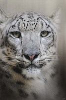 Stare Of The Snow Leopard Fine Art Print