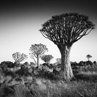 Namibia Quiver Trees Framed Print