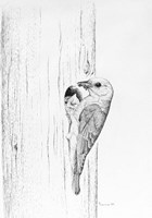 Bluebird Study Fine Art Print