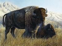 Resting Buffalo Fine Art Print