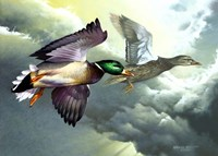 Mallards In Flight Fine Art Print