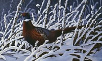 Fresh Snow - Ringneck Pheasant Fine Art Print