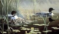 Nesting Loons Fine Art Print