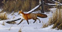 Fox Trot  - Red Fox Fine Art Print