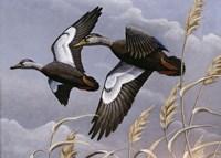 1982/1983 Black Ducks Fine Art Print