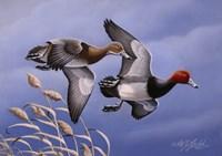 1986 Redhead Ducks Framed Print