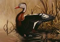 1988 Black Bellied Whistling Duck Fine Art Print