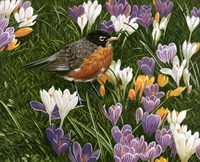 Springtime Robin With Crocus Fine Art Print