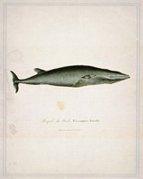 Whale 1 Framed Print