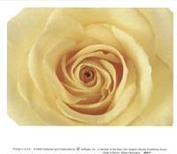 Rose In Bloom Fine Art Print
