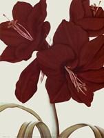 Amaryllis I Fine Art Print