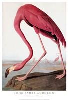 American Flamingo Fine Art Print
