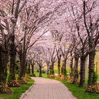 Cherry Blossom Trail Fine Art Print