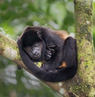 Black Howler Monkey, Sarapiqui, Costa Rica Fine Art Print