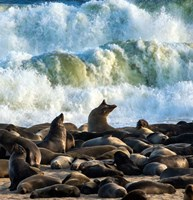 Cape Fur Seals, Cape Cross, Namibia Fine Art Print