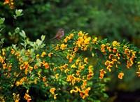 Song Sparrow Bird Fine Art Print