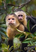 White-Throated Capuchin Monkeys (Cebus capucinus) on tree, Tortuguero, Costa Rica Fine Art Print