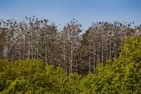 Flock of Cormorant Birds, Lithuania Fine Art Print