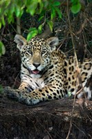Jaguar, Pantanal Wetlands, Brazil Fine Art Print