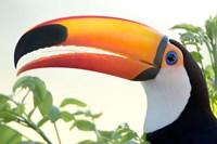 Toco toucan (Ramphastos toco), Pantanal Wetlands, Brazil Fine Art Print