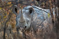 Black Rhinoceros, Etosha National Park, Namibia Fine Art Print