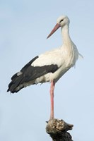 White Stork, Ndutu, Ngorongoro Conservation Area, Tanzania Framed Print