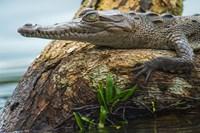 American Crocodile, Tortuguero, Costa Rica Fine Art Print