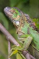 Green Iguana, Sarapiqui, Costa Rica Fine Art Print