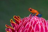 Strawberry Poison-Dart Frog, Sarapiqui, Costa Rica Fine Art Print