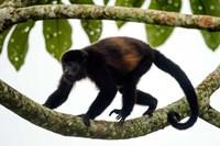 Black Howler Monkey, Sarapiqui, Costa Rica Fine Art Print