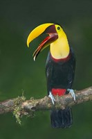 Keel-Billed Toucan, Sarapiqui, Costa Rica Fine Art Print
