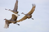 Sandhill Cranes In Flight Fine Art Print
