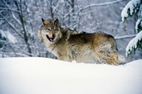 Gray Wolf in Snow Fine Art Print
