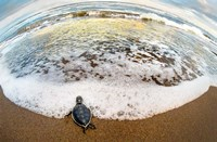 Green Sea Turtle, Tortuguero, Costa Rica Fine Art Print