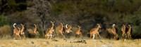 Black-Faced Impala, Etosha National Park, Namibia Fine Art Print