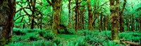 Rain Forest, Olympic National Park, Washington State Fine Art Print