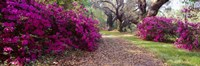 Magnolia Plantation and Gardens, Charleston, South Carolina Fine Art Print