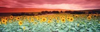 Sunflowers, Corbada, Spain Fine Art Print