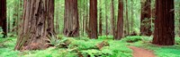 Avenue Of The Giants, Founders Grove, California Fine Art Print