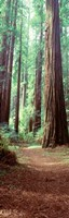 Redwood Trees, St Park Humbolt, CO Fine Art Print