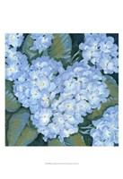 Blue Hydrangeas II Framed Print