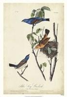 Blue Song Grosbeak Framed Print